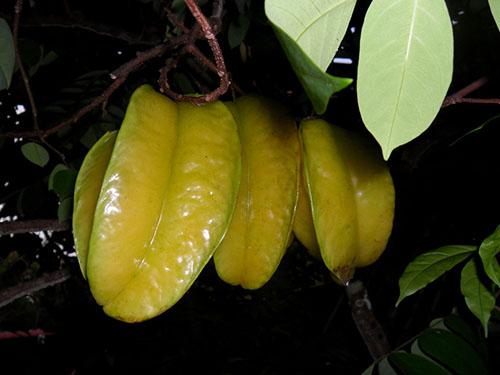 buah-belimbing